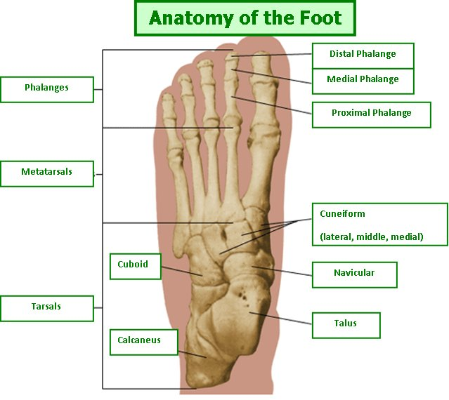 Plantar Foot Anatomy Image Collections Human Anatomy Organs Diagram